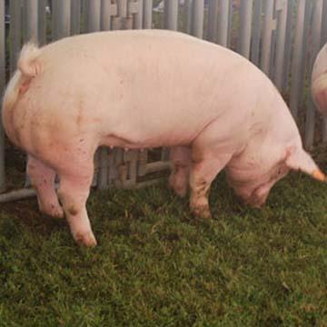 乳酸菌が豚の死亡率を抑えた