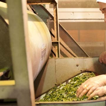 摘みたてのお茶を加工する、機能的で清潔な工場