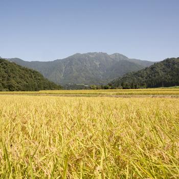 清流に育まれる日本一のお米