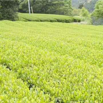 創意工夫を繰り返してきた、岩倉製茶の歴史